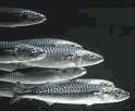 hoki fish